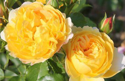 Dépôts et certificats d'obtention des roses nouvelles