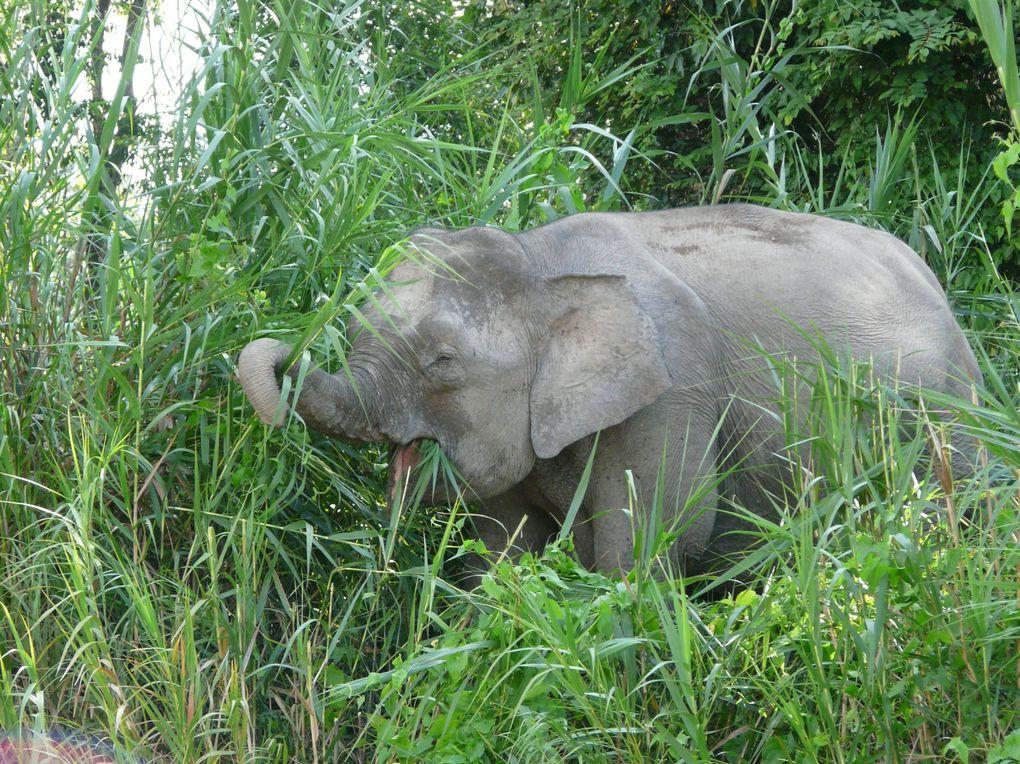 Et nous voilà dans la jungle de Bornéo ... très policée tout de même, mais entre le sublime Kinabalu, les éléphants et les couchers de soleil sublimes ...