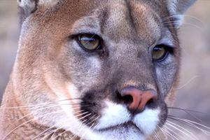 Un Puma en France ?