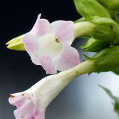 Fleurs du jour (19-18) - Noy et Gilbert en Thaïlande