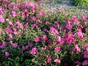 """""""Les bouquets des cistes pourpres ou blancs chamarraient la rauque garrigue, que les lavandes embaumaient"""". Si le grain ne meurt (1926) Citations de André Gide"""
