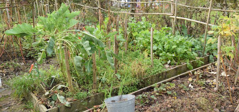 """Cette planche est un bon exemple : elle contient des légumes vivaces qui vont rester en place tout l'hiver (choux-fleurs """"nine star perennial"""", roquette) et des légumes d'hiver (navets perowski). Mais les autres légumes (feuilles d'amaranthes, haricots, coquerets, etc...) ont gelé. Par endroits, le sol est recouvert de mouron blanc."""
