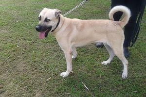 BIANCA - croisée labrador - 2 ans et demi - adoptée