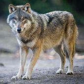 """Le gouvernement doit garantir la """"coexistence"""" entre loups et éleveurs"""