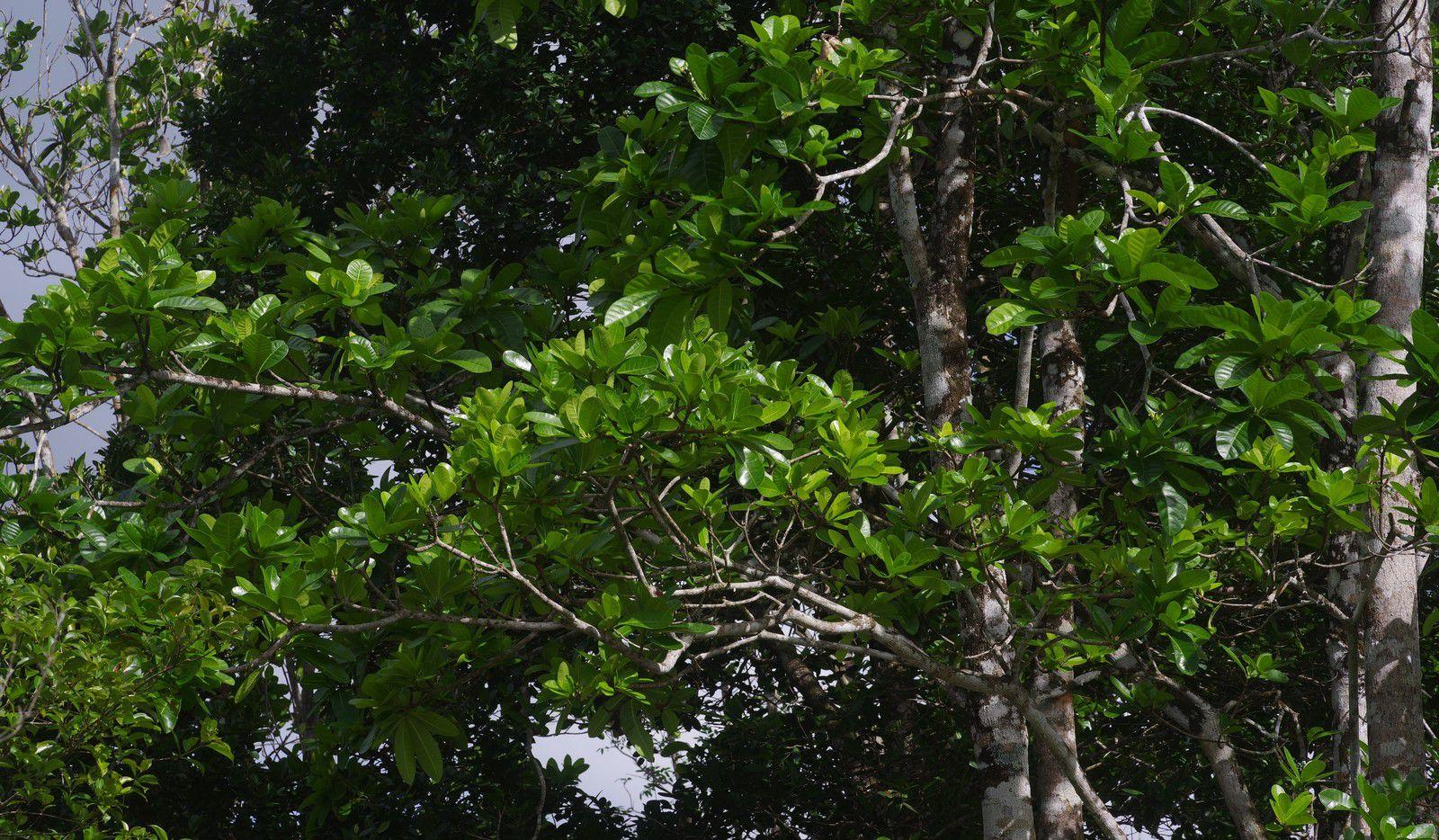 Himatanthus articulatus