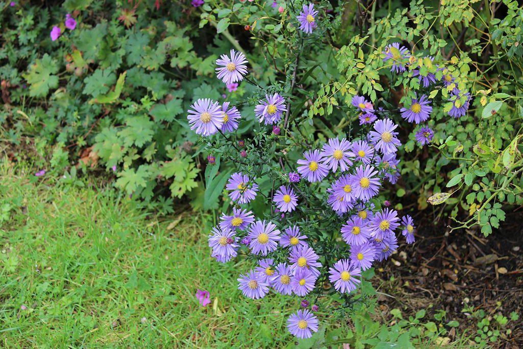Petit cadeau de la nature un semis de calliope à la couleur parme un peu plus foncée...