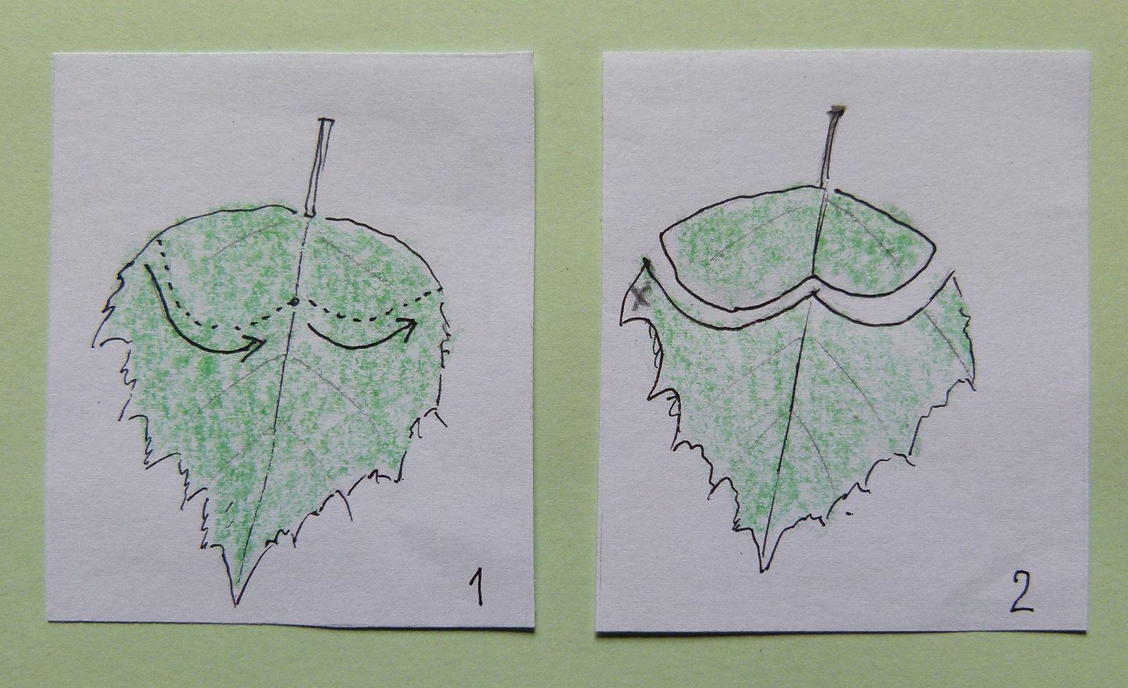La nervure centrale est à peine attaquée : elle va se flétrir, ce qui facilitera son enroulement et son desséchement ultérieur et donc sa chute. Mais le « cigare » doit rester sur l'arbre, être suffisamment tendre pour être consommé par la larve, puis tomber à un certain moment, lorsque la larve est prête à se nymphoser dans le sol.