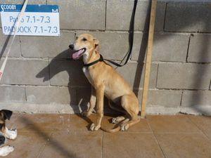 chiot a adopter sous contrat associatif sos chiens galgos