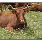 La race Salers plus qu'une vache ........un symbole - L'Auvergne Vue par Papou Poustache