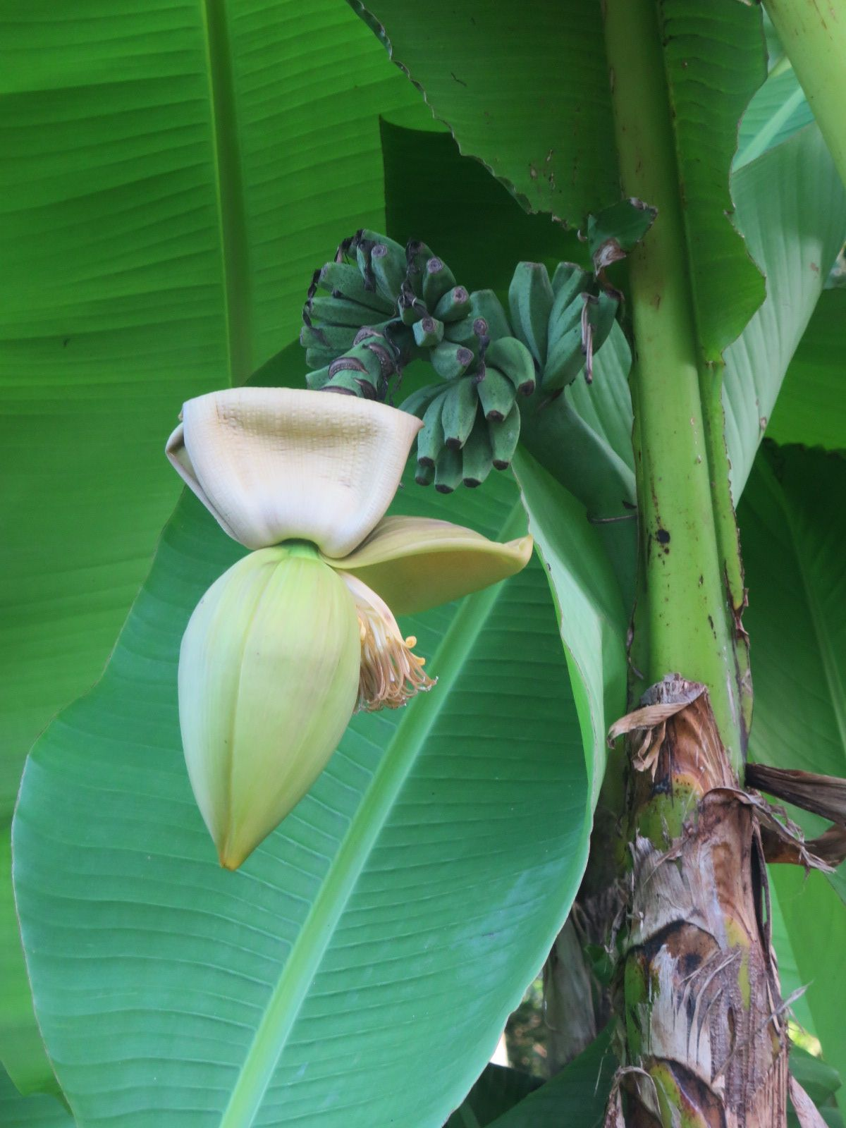 Pas de fruits cette année! sauf les noix en abondance(souvent véreuses) et les bananiers (de Nath) qui ont grandi et qui cette année font des régimes (qui n'iront certainement pas à terme)