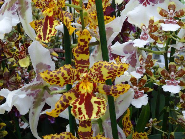 Van der Goes Orchideeën