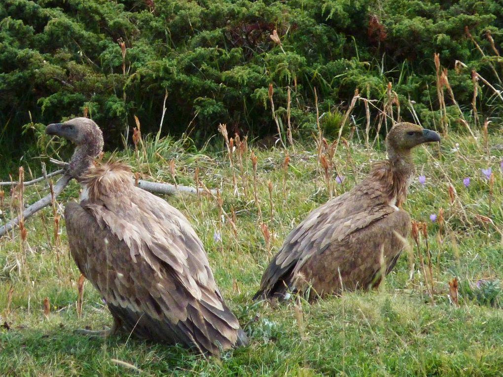 ils photographient les vautours Photos C.Crouzel R.Levaché