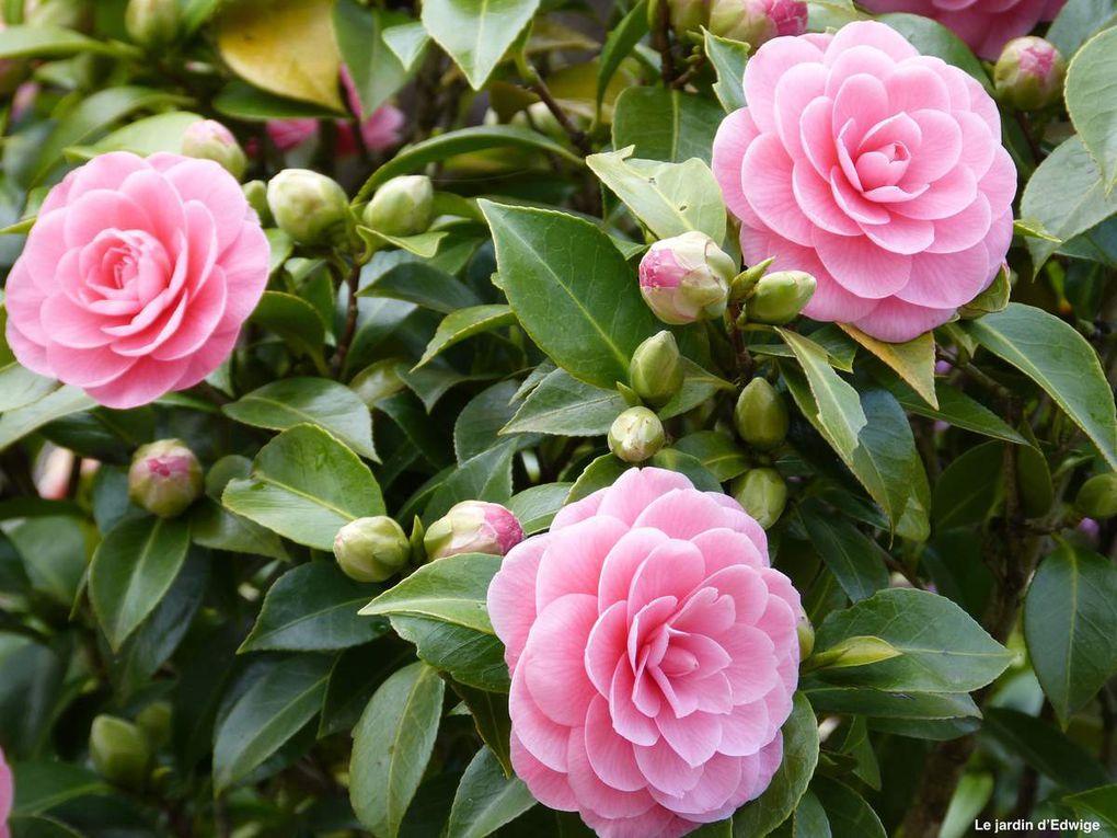 Camélia 'Betty Ridley' - Camellia 'Betty Ridley'