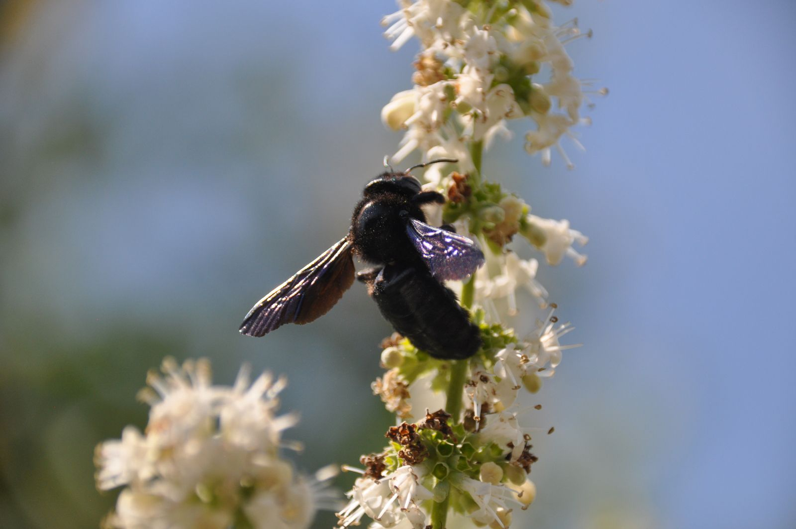 Xylocopa violacea © Roger Puff