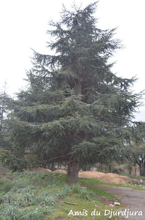 Les arbres et les bois du djurdjura dont certains sont endémiques.