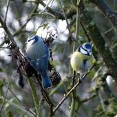 Mésange bleue - Cyanistes caeruleus. - Le jardin d'Edwige.
