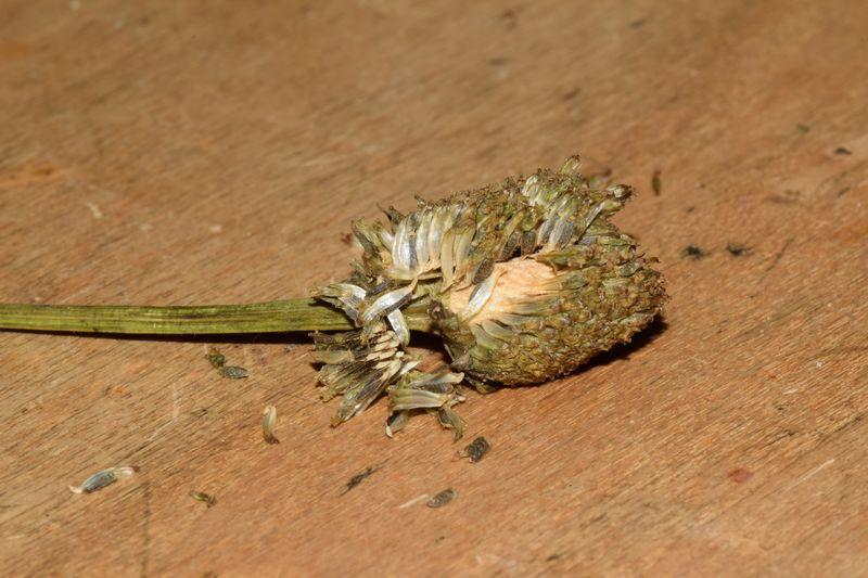 Le légume du dimanche : la brède mafane ou cresson de para