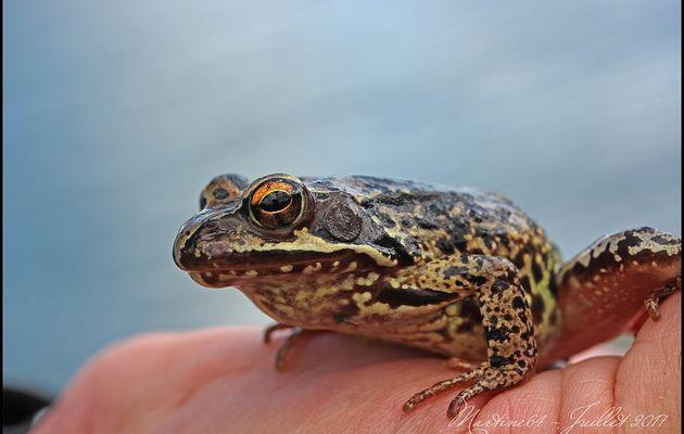 La grenouille rousse ( Lacs de Bastan )