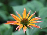 Hemerocallis 'David Kirchhoff' -  Echinacea 'Summer Snow'  -  Acaena inermis pourpre