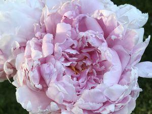 dans mon jardin... les roses arrivent