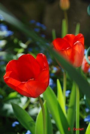 Tulipes rouges, Jacinthe blanche et Jacinthe rose.