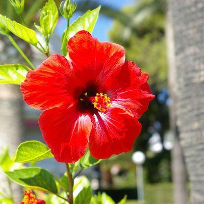 La couleur rouge hibiscus