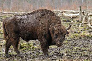 Des bisons vont être réintroduits au Royaume-Uni des milliers d'années après leur disparition