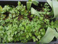 Les salades sont majoritaires. S'y mêlent des aromatiques, de l'origan qui a bien prospéré dont j'ai fait des boutures. Ailleurs, des menthes, céleris...