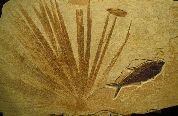 Poisson fossile Wyoming Etats-Unis