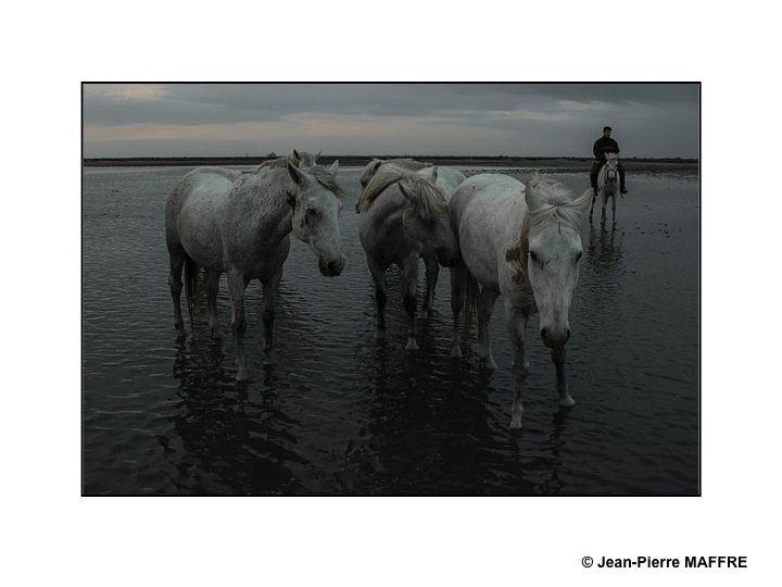 Présent depuis l'Antiquité, le cheval de Camargue est un petit cheval de selle qui vit en semi-liberté dans les marais reconnaissable à sa robe grise.