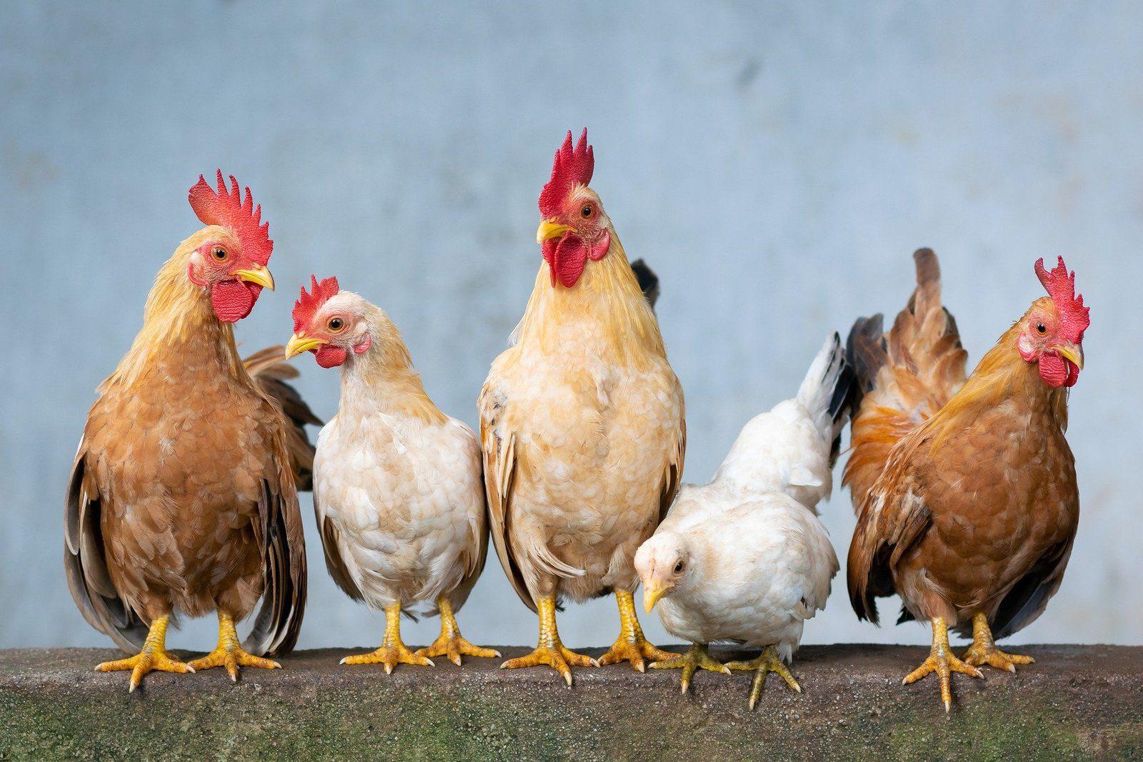 Les animaux de notre mini-ferme à 10 km de Pontarlier, Doubs, Jura