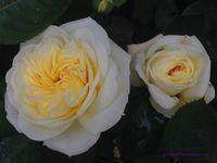 'Mystery Yellow' - 'Yellow Melody' - 'Blushed Yellow'