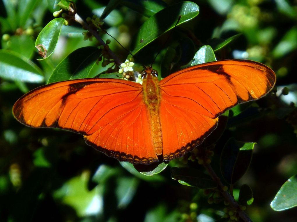22 Julia Dryas julia