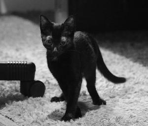 Nuts, chaton mâle noir, à l'adoption -> adopté