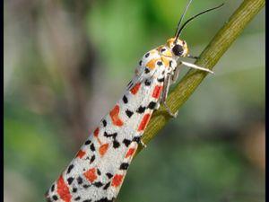 Utetheisa pulchella à gauche et Utetheisa ornatrix à droite, dont les ailes sont plus rouges