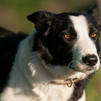 La Coupe de France Spécial Border Collie KESAKO?