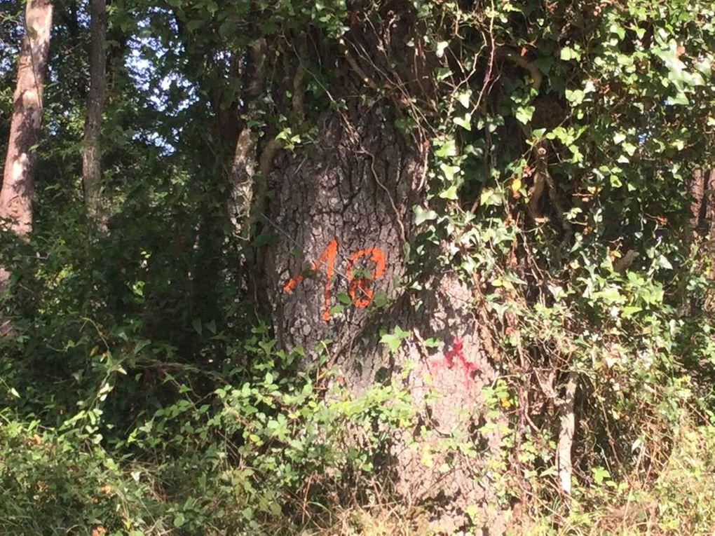 Diaporama : des arbres marqués remarquables par leur hauteur la circonférence de leur tronc