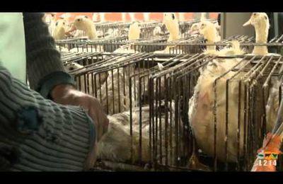 Foie gras, gavage...