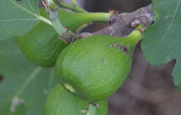 Des figues qui ont bien profité de la chaleur cette année