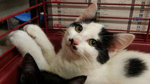 Loupie, chat femelle, à l'adoption -> adoptée