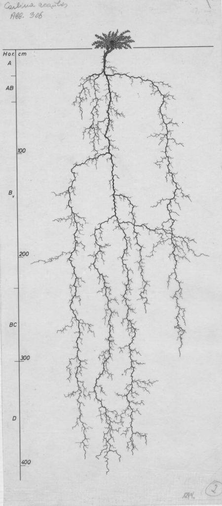 chardon…comment se comportent les systèmes racinaires quand ils sont confrontés à la concurrence d'autres plantes convoitant les mêmes ressources (pas du tout comme les humains en tout cas !)