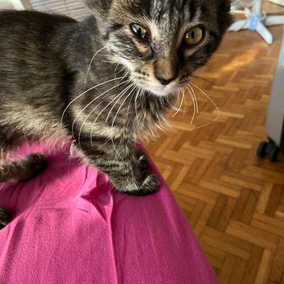 Seif, chaton mâle tigré de 2/3 mois, à l'adoption