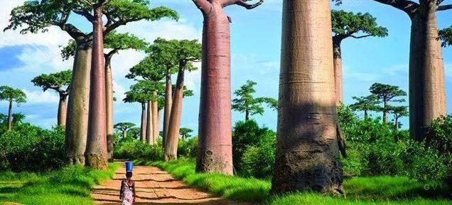 Madagascar única.- El Muni.