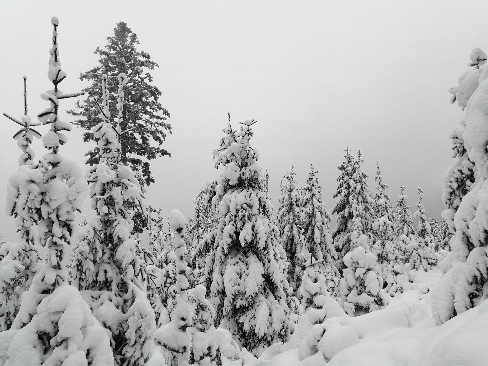 Quel beau spectacle que nous offre le Roi des forêts recouvert de son manteau blanc.
