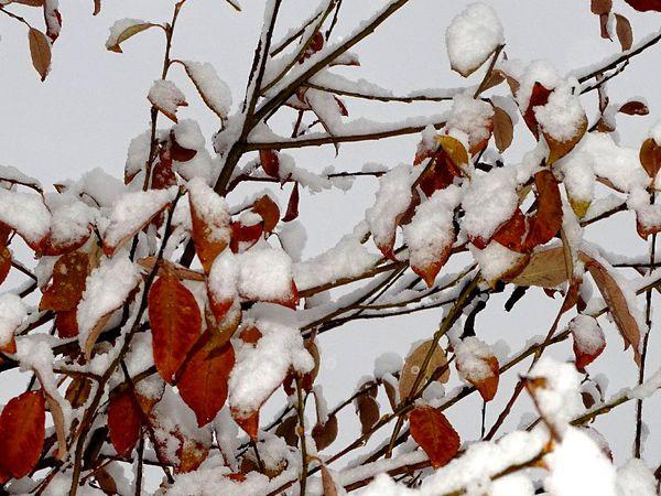 Confinement 2 - Jour 34 : Feuilles d'automne sous la neige - 3 photos
