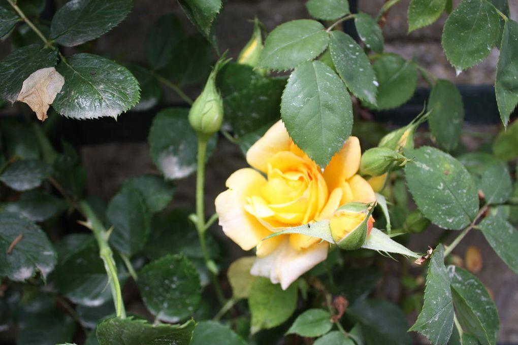 Ballade dans la roseraie de l'hay les roses
