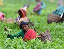 En Inde, le thé Assam passe de la récolte à la révolte qui gagne Ceylan...
