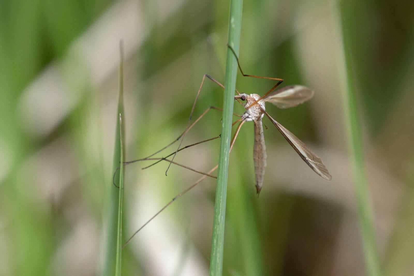 Tipula sp