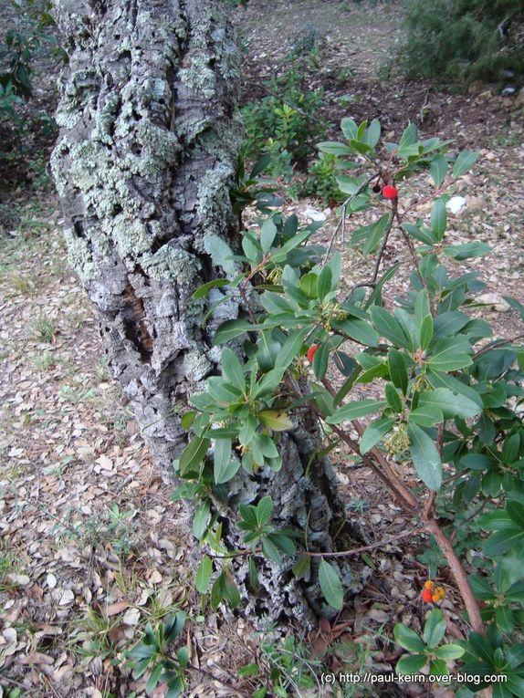 Autour de Collobrières, la capitale varoise des chataignes, il y a aussi des champignons aujourd'hui des Lépiotes élévés. Un peu plus bas, une eucalypteraie, étrange et belle...