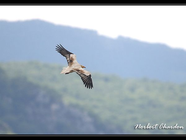 vautour percnoptère verdon